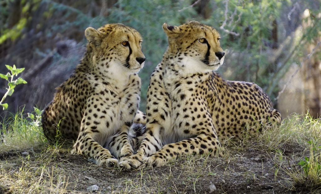 Two cheetahs laying in the jungle